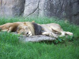 Lion Nap by mandykat