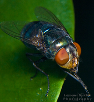 Housefly on the house 10 by lee-sutil