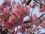 Early Blooming Sakura by SunnyDaiki