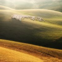 Tuscan sheep by JPawlak