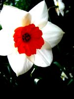 Narcissus by mihi2008