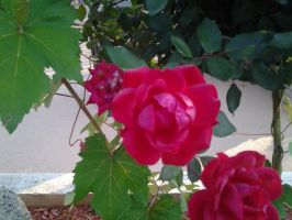 Just roses by GUDRUN355
