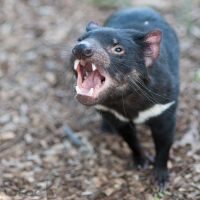 Tasmanian devil 01 by 88-Lawstock