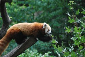 red panda 1.15 by meihua-stock