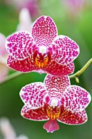 Orchid flowers 6 by a6-k