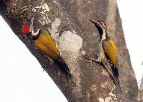 Black-rumped Flame-back Woodpeckers by Jamie-MacArthur