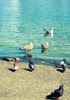 Pigeons and Gulls by HA91