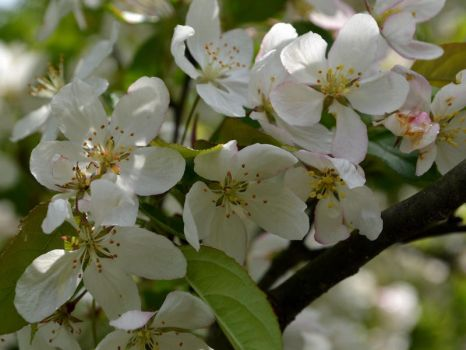 Apple Blooms in Shade by uguardian