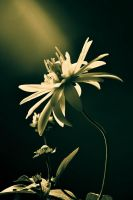 flower by Crexcrexy