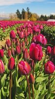 Tulip Festival #13 by KRHPhotography