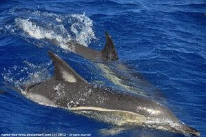 Cruisin' - Common dolphins by namu-the-orca