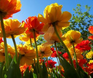 Tulips 8 by zaphotonista