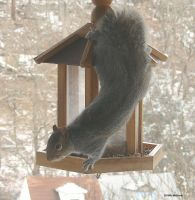 Lively Mr Squirrel 2 Jan 5 201 by seto2112