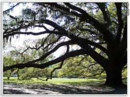 Live Oak by seiyalover