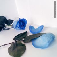 Blue Rose I by Zinantis