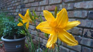 Daylilies by rabbithat8