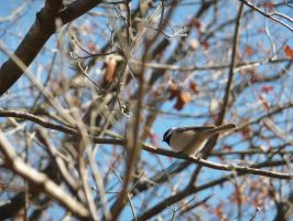 Chickadee by AgentRouge