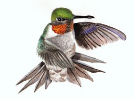 Ruby-throated Hummingbird by LaceyAndTheLevee
