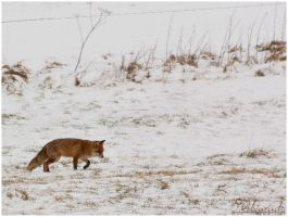 Fox in snow 13 by Salvas