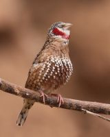 Cut-throat Finch by SnowPoring