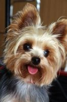little yorkie by vianjovic13