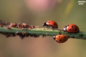Offensive lady bugs by malaladanila