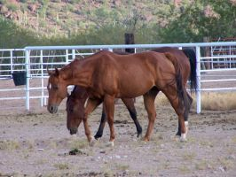 Quarter Horse Stock 1 by Rejects-Stock