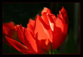 Tulp by JVre