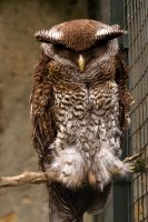 Forest Eagle-Owl by akadime