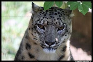 Cranky Snow Leopard II by TVD-Photography