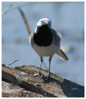 White Wagtail by katerina-m