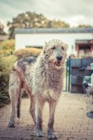 .: A windy day in a Wolfhounds life :. by Frank-Beer
