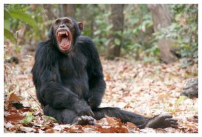 Chimpanzee - 4031 by eight-eight