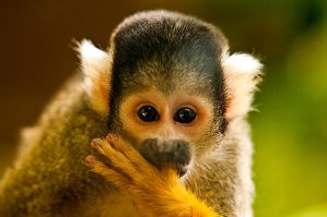 Bolivian Squirrel Monkey by weaverglenn
