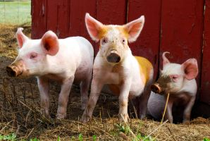 Three Little Pigs by JenRoyce