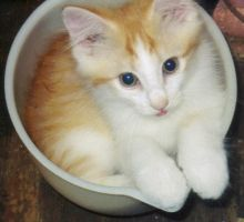 Add a cup of orange kitten by DACantero