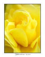 Yellow wet rose by lexidh