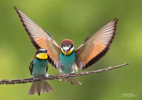 Bee-Eaters by BogdanBoev