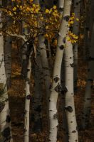 aspen trees by fotophi