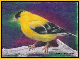 American Goldfinch II by RM42