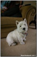 Will The Westie by DanWY