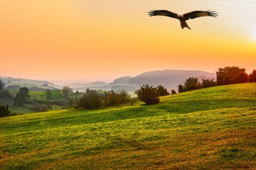 Red Kite in the sunrise by brijome