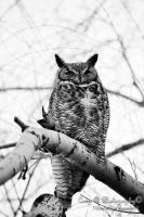 Great horned owl by Nikonfinest