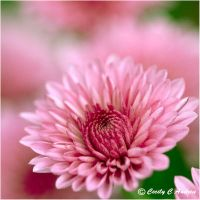Chrysanthemum II by CecilyAndreuArtwork