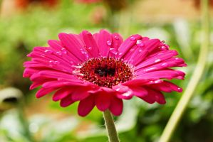 Gerbera daisy with waterdrop by a6-k