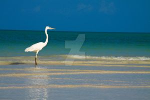 White heron at the beach by Ekaiaistari