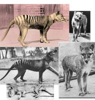 Collage of Thylacine pics by MelyssaThePunkRocker