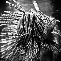 Lionfish by S4SH4X