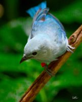 Fade to Grey - Blue-grey Tanager by AzureWindProductions