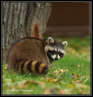 Raccoon by Ptimac
